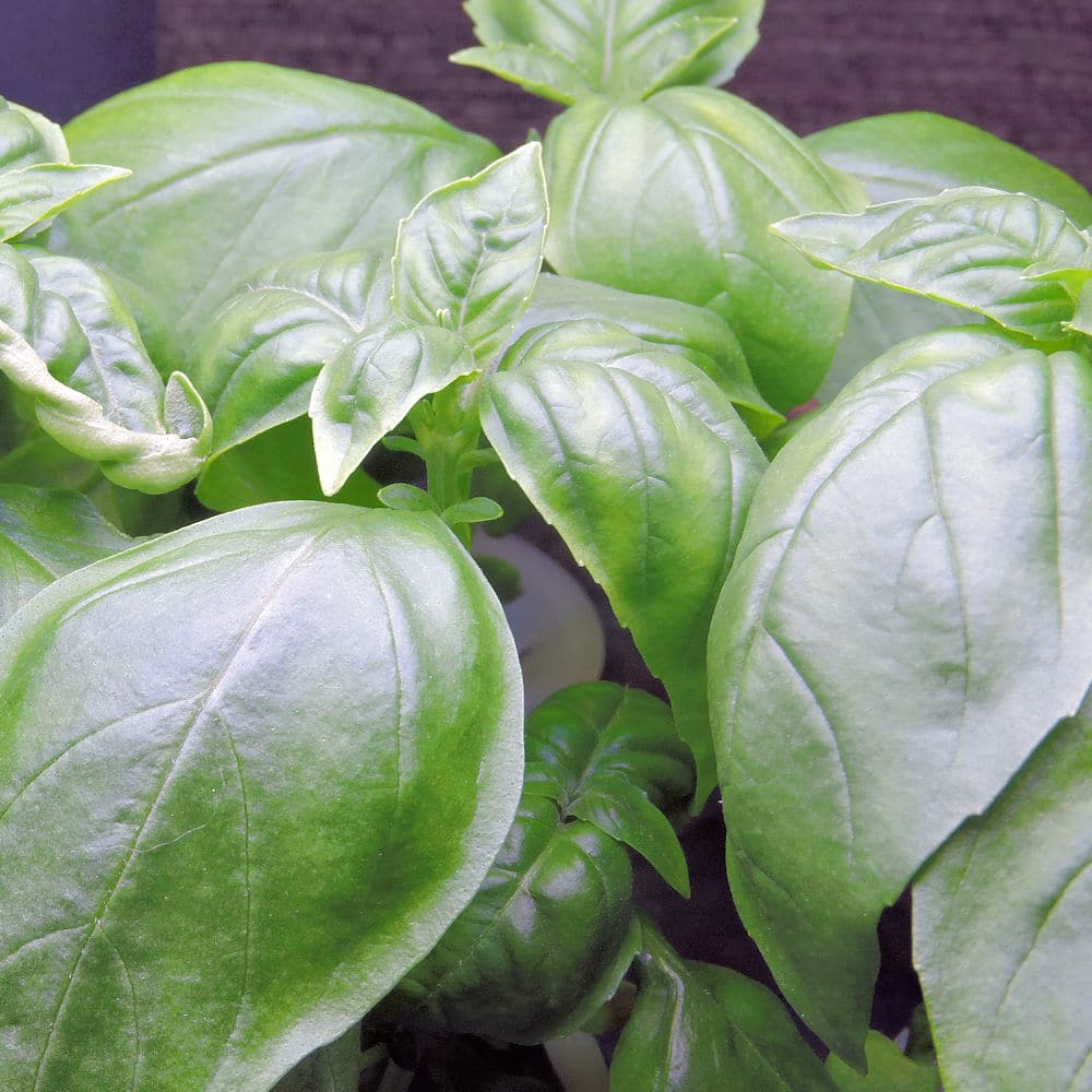 closeup of Genovese basil leaves growing in Aerogarden