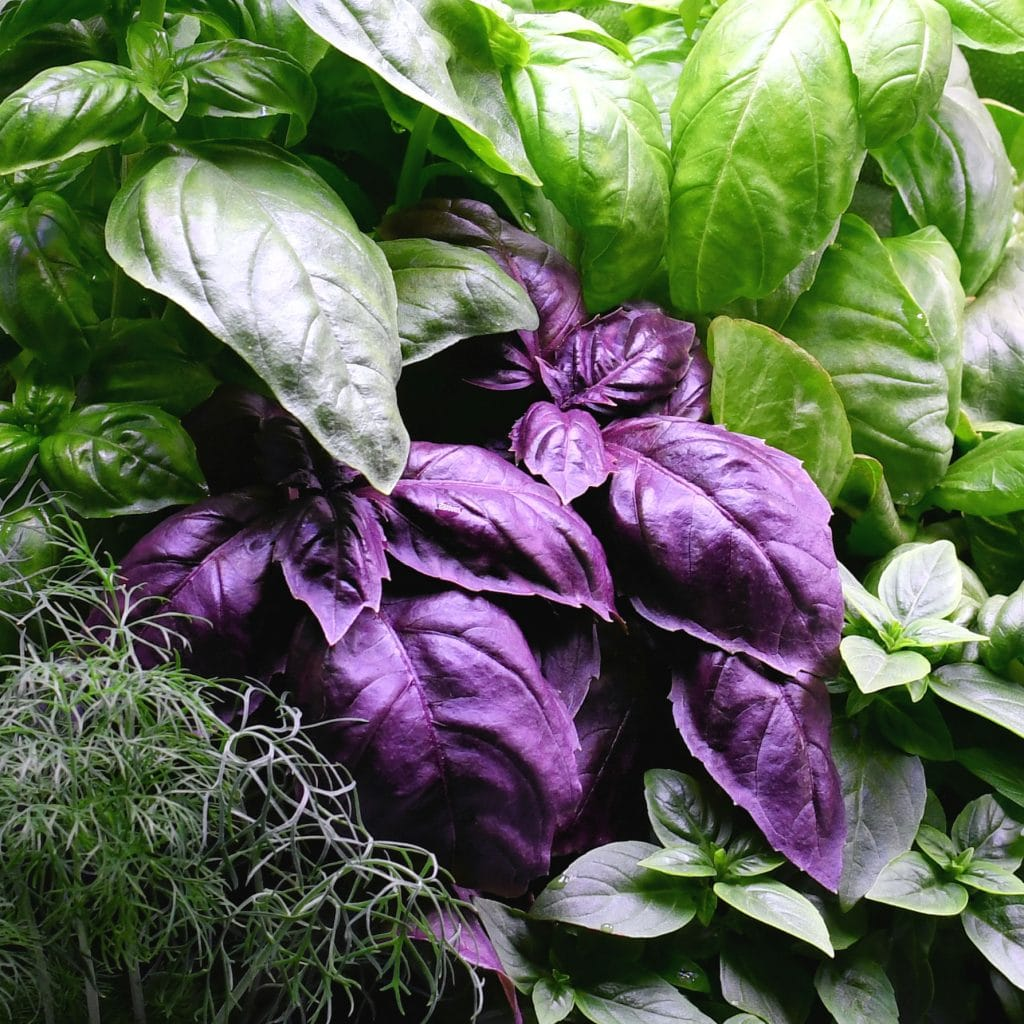Photo of Kim Guzman Aerogarden with Genovese, Purple Opal and Globe Basil with Dill on the lower left